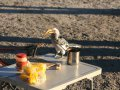 Yellow Billed Hornbill (Nashornvogel)
