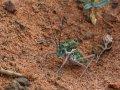 grüne Heuschrecke in der Gobi