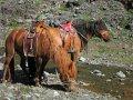 Mongolische Pferd