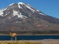 Guanaco mit Vulkan
