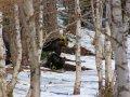 Bären im Shiretoko Nationalpark (Japan)
