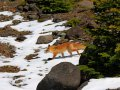 Fuchs im Shiretoko Nationalpark (Japan)