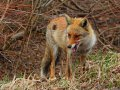 Fuchs im Hachimantai Nationalpark