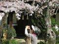 Kirschblüten in Himeji