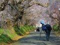 Kirschblüten fotografieren