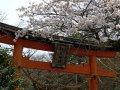 Torii mit Kirschblüten