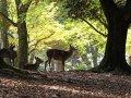 Hirsche in Nara