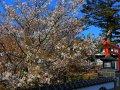 Kirschblüten in Chiran (Japan)