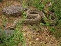Schlange in der Mongolei