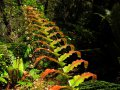Farntrieb im Kaimanawa Forest Park (Neuseeland)