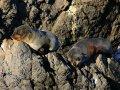 Pelzrobben am Cape Palliser (Neuseeland)