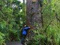 Four Sisters Kauri im Waipoua Forest (Neuseeland)