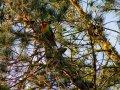 bunter Vogel (Neuseeland)