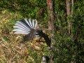 Fächerschwanz Fantail (Neuseeland)