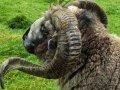 Schafe (Neuseeland)