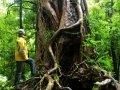 Rata Baum im Te Urewera Nationalpark (Neuseeland)