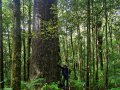Kauri Baum im Waipoua Forest (Neuseeland)