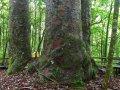 Four Sisters Kauri Bäume im Waipoua Forest (Neuseeland)