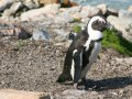 Pinguine an der Bettys Bay