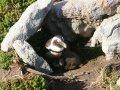 Pinguine an der Bettys Bay