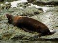Seelöwe (Neuseeland)
