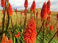 Blumen (Neuseeland)