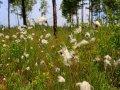 Blumen mit Samen in Sibirien