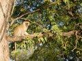 Makaken im South Luangwa Nationalpark (Sambia)