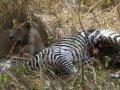 Löwen fressen Zebra im South Luangwa Nationalpark (Sambia)