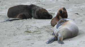 Seelöwen am Cannibal Beach (Neuseeland)