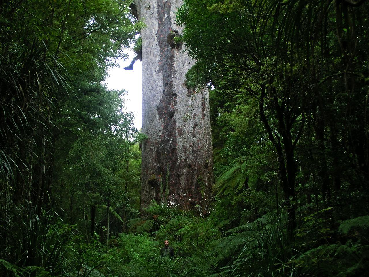 Kauri Baum (Neuseeland)