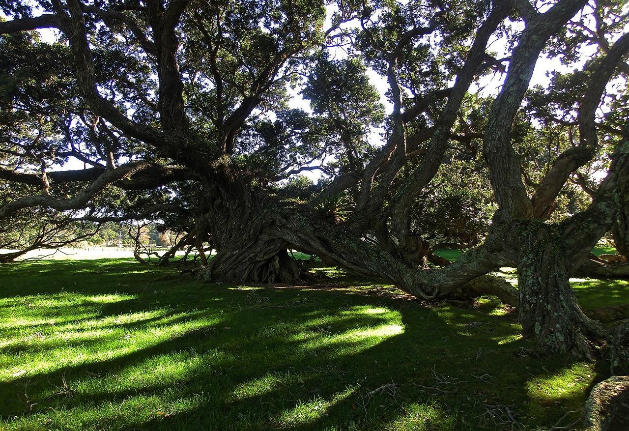 Krüppelbäume auf Coromandel (Neuseeland)
