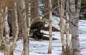 Braunbären im Shiretoko Nationalpark (Japan)