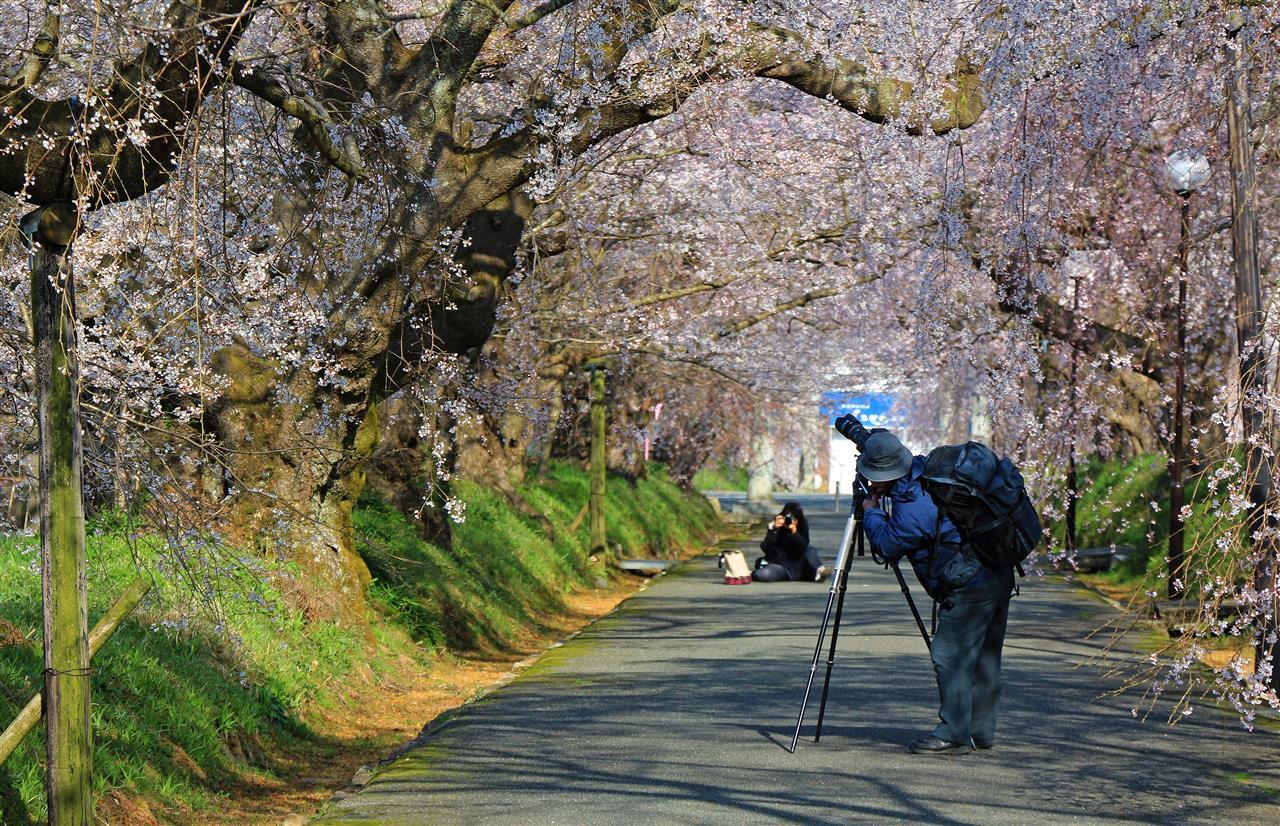 Kirschblüten fotografieren (Japan)