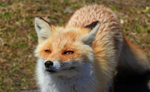 zutraulicher Fuchs (Japan)