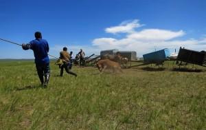 Pferd einfangen (Mongolei)