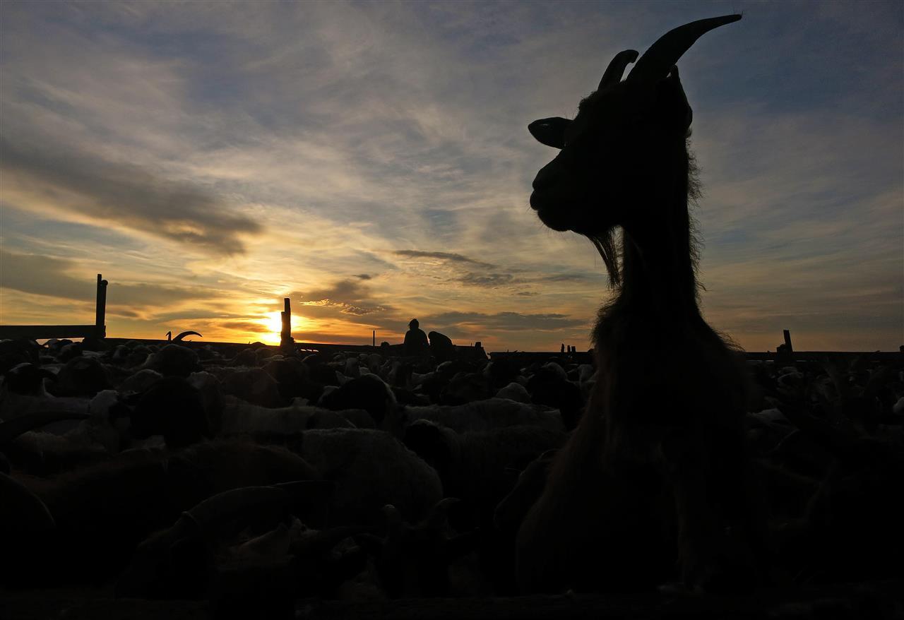 Ziege im Abendlicht (Mongolei)