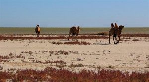 Kamele am Kaspischen Meer (Kasachstan)