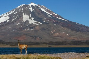 Guanaco vor einem Vulkan in Argeninien