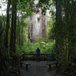Tane-Mahuta-Kauri-im-Waipoua-Forest-Neuseeland